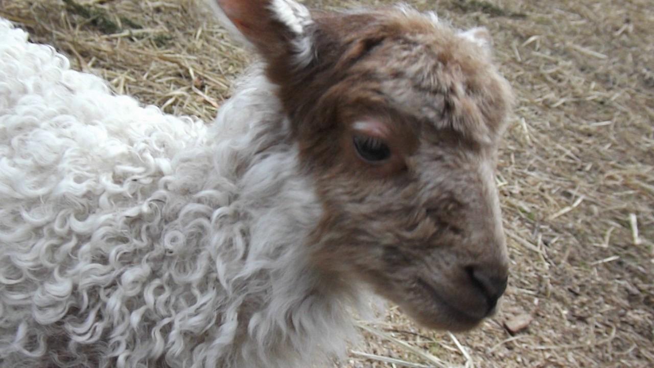 Blökende Schafe