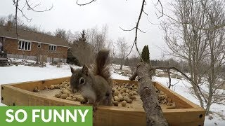 Red  black squirrels have vicious fight at bird feeder