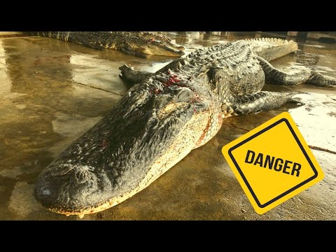 Hunting Alligators In The Swamp! (Dangerous)