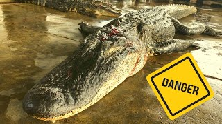 hunting-alligators-in-the-swamp-dangerous