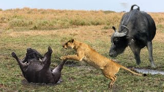 Amazing Buffaloes Chasing Lion To Save Fellow | Lion Hunting Fail