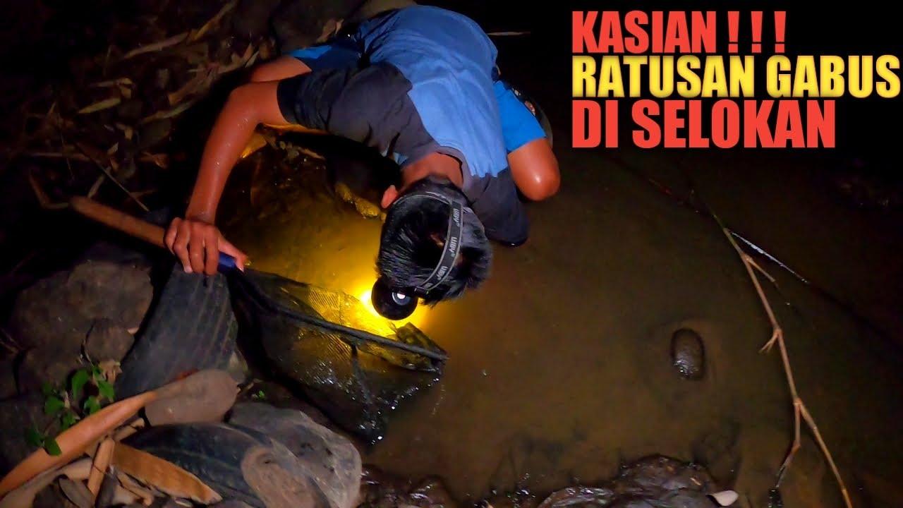 Temukan Ratusan Ikan Gabus Di Selokan
