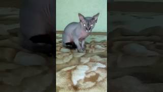 Кот (вязка) Канадский сфинкс.