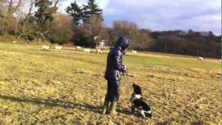 Stop A Dog From Chasing Sheep - Day 4 - Www.taketheleadtraining.co.uk