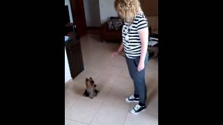 Darya - Yorkshire Terrier - Signal Commands