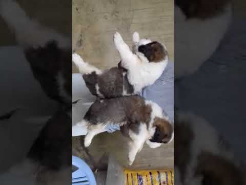 Saint bernard puppy low price at jammu punjab shimla delhi chandigarh 9671116765  mumbai vadodra goa