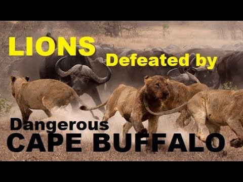 Narrated: Africa's Dangerous Cape Buffalo (Black Death) attacks and kills Lions
