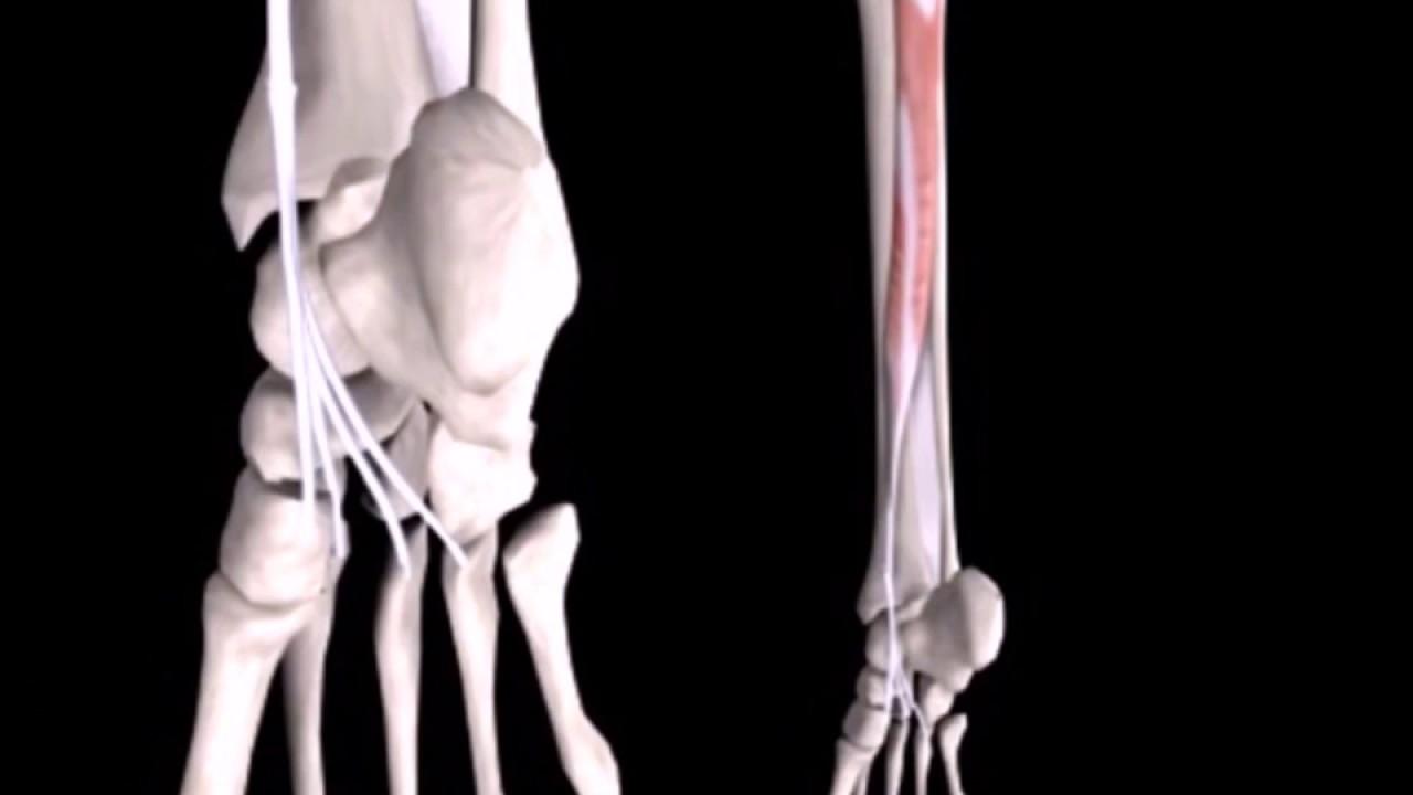 M. tibialis posterior - YouTube
