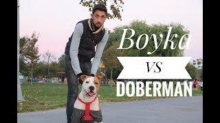 Pitbull VS Doberman VS Dogo (karşılaştırma)