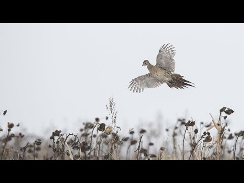 Pheasant Hunting In The Texas Panhandle | The Flush: Season 10, Episode 9