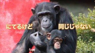 泣かない編の公開です! チンパンジーの赤ちゃんは、ヒトの赤ちゃんみた...