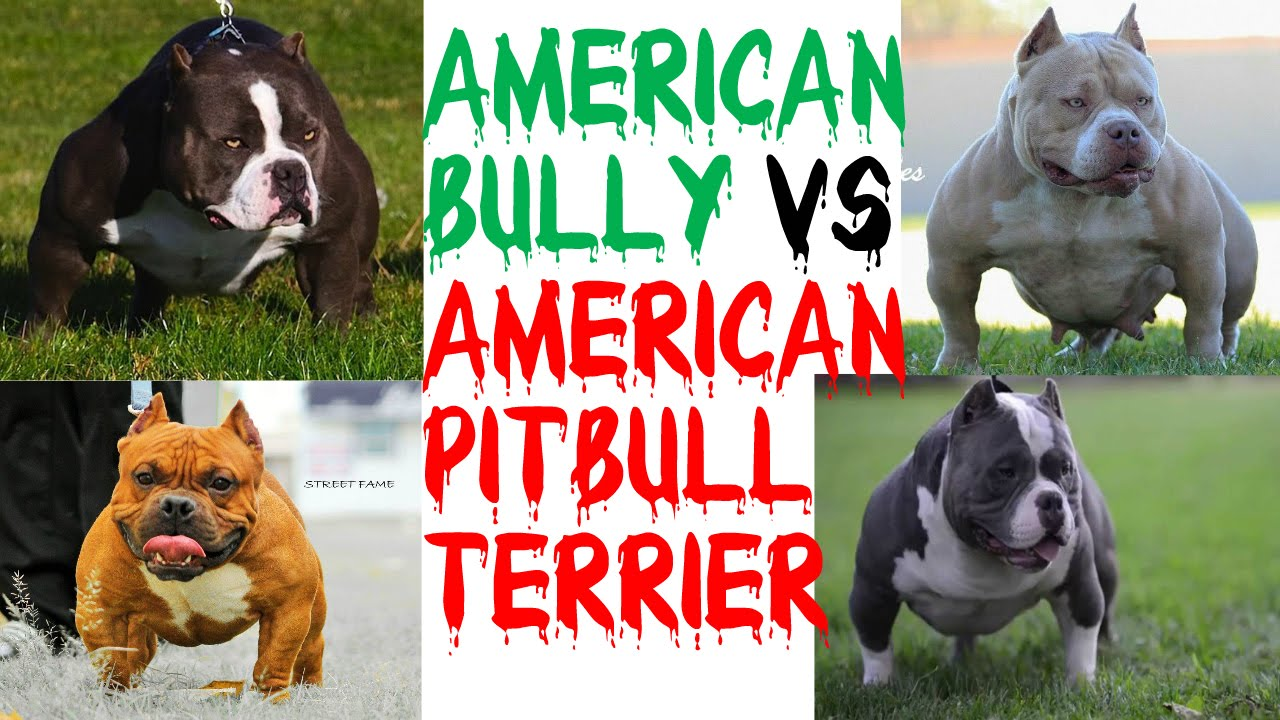 American Bully VS American Pitbull Terrier!!! - YouTube