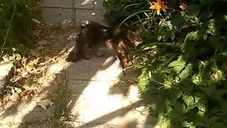 Кот с двумя хвостами