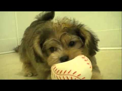 yorkiepoo-(-yorkshire-terrier-x-poodle)-puppy-playing