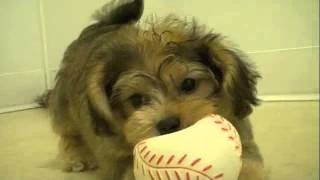 Yorkiepoo ( Yorkshire Terrier X Poodle) Puppy Playing
