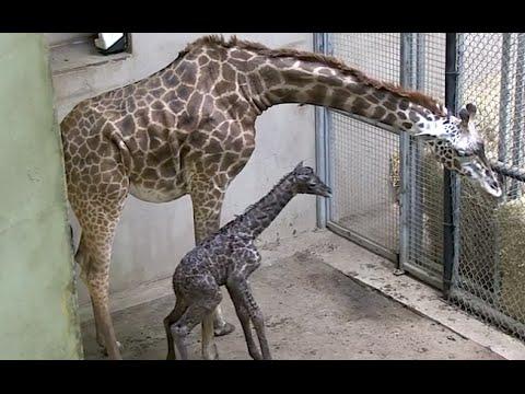 Amazing Baby Giraffe Birth - Buttercup - SANTA BARBARA ZOO