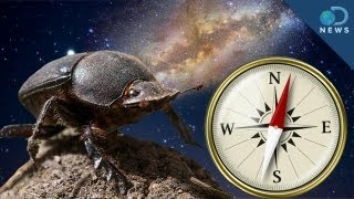 Dung Beetles Use Milky Way as Compass