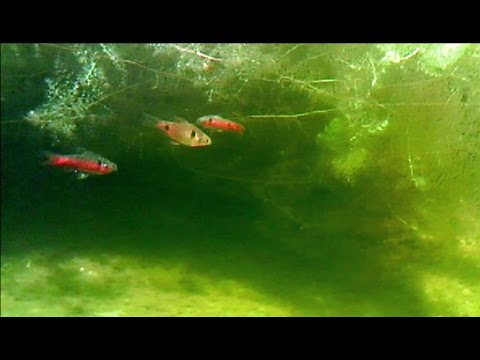 Swimming with Odessa barbs in my ponds (underwater view)