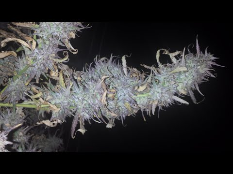 Montreal/Quebec Cannabis Seeds: Fast Version of Bruce Banner & Cinderella 99, Blueberry -- Harvested
