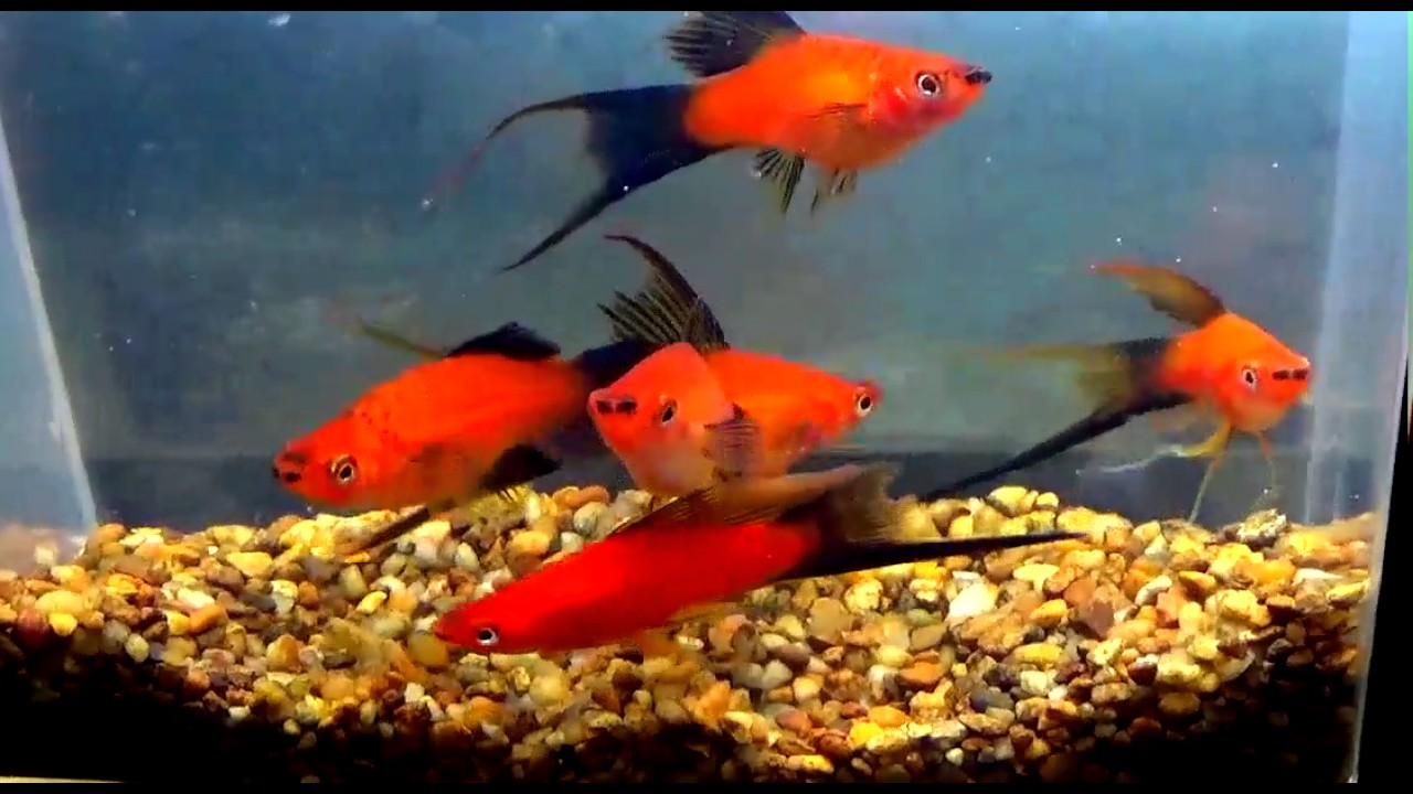 red wag swordtails - YouTube