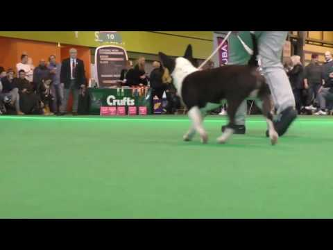 Crufts Dog show 2017 Miniature Bull Terriers Puppy Dog
