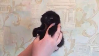 Черный вислоухий котенок scottish fold. Продажа. 8(926)993-70-25 www.grey-cats.ru