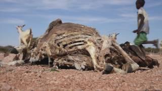 Somalie: des éleveurs nomades touchés de plein fouet par une sécheresse sans précédent