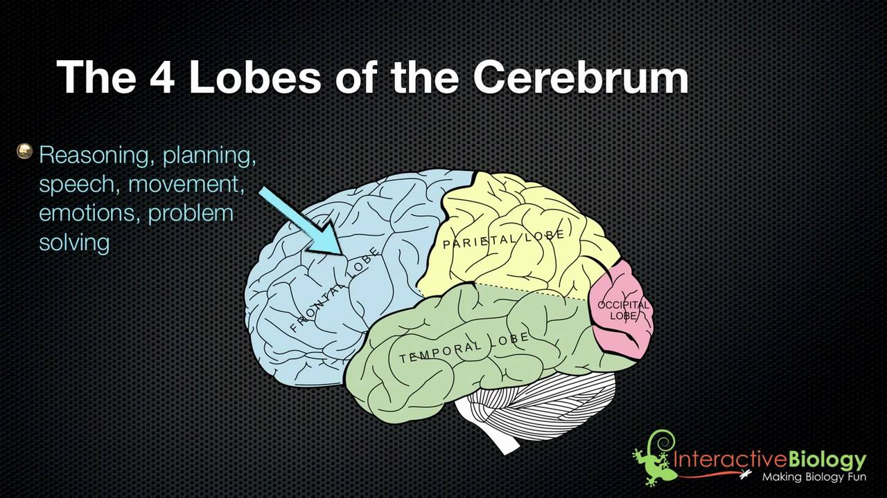 025 The 4 Lobes Of The Cerebrum And Their Functions Youtube