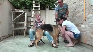 Download Video কুকুরের চুদাচুদি---Немецкие овчарки Айна и Гранд  Ждём щенков MP3 3GP MP4