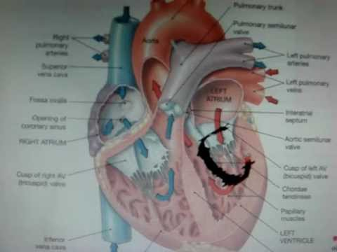 Anatomy and Physiology: Ch. 12 The Cardiovascular System: The Heart ...