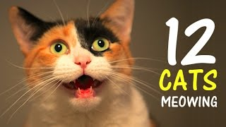 12 CATS MEOWING LOUDLY | Make your Cat Go Crazy! 2.0 HD thumbnail