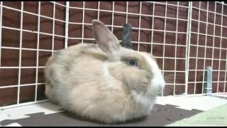 人間のくしゃみでびっくりするウサギ