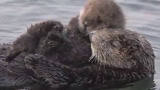 Closeup of Momma & Baby Otters