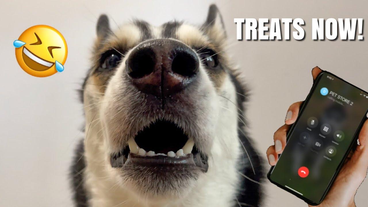 Talking Husky PRANK CALLS Pet Stores!