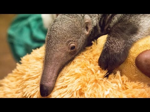 Say hello to Beanie the baby giant anteater!