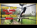 Kacer Gacor Roll Speed Nembak Isian Mewah Cocok Buat Pancingan Kacer Yang Kurang Bunyi  Mp3 - Mp4 Download