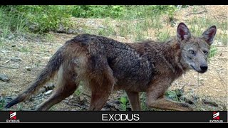 Coyote attack?