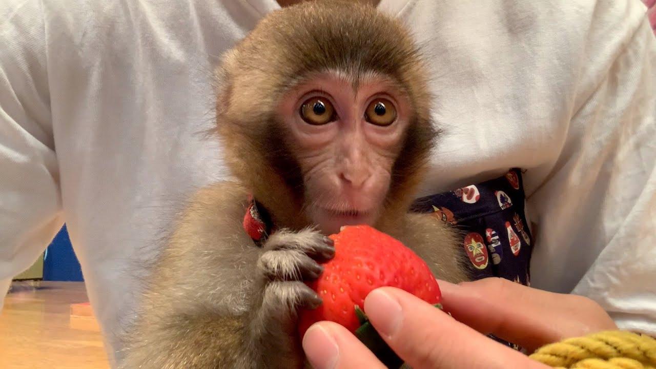 自分の顔くらい大きいイチゴをアイドルのように食べるお猿のルートくん。