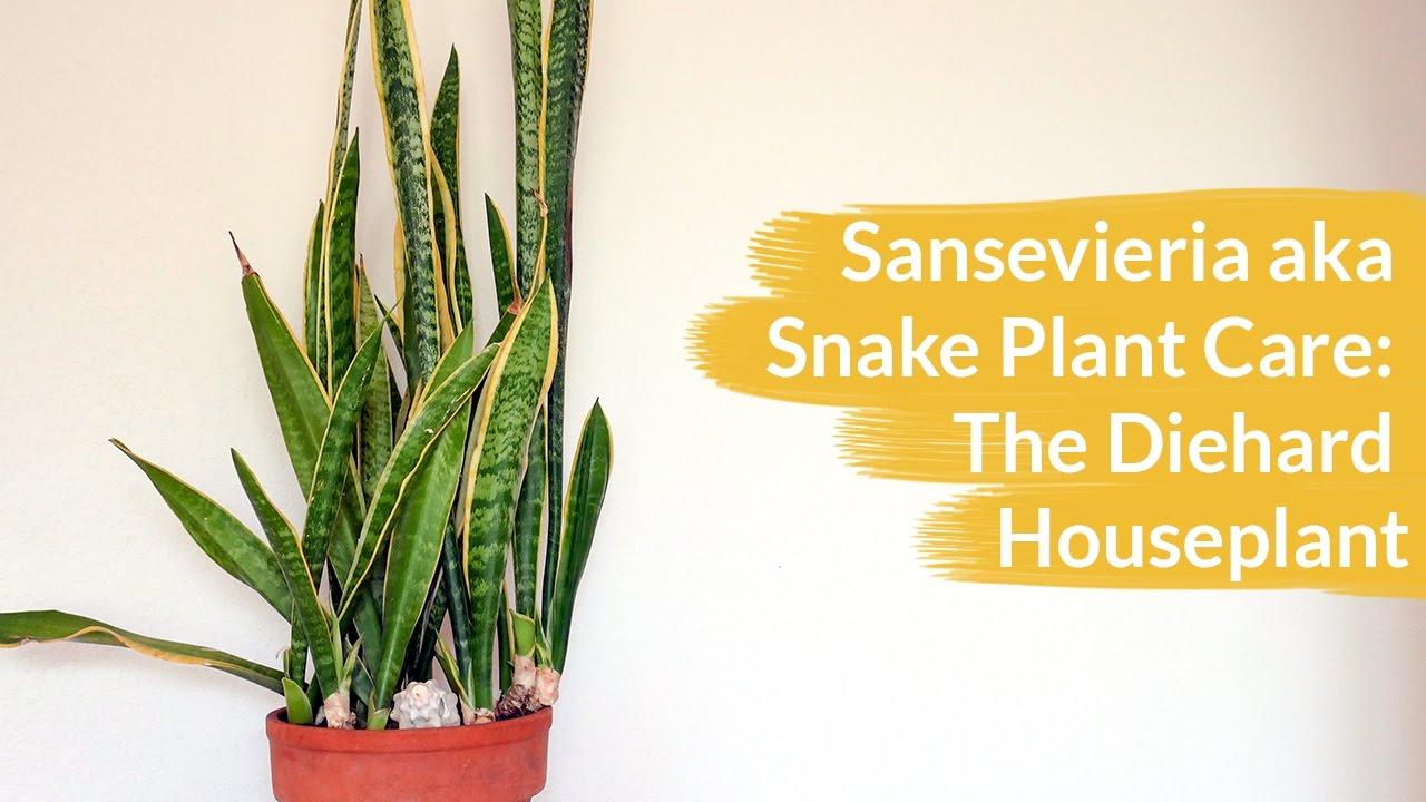 sansevieria aka snake plant care the diehard houseplant joy us garden youtube. Black Bedroom Furniture Sets. Home Design Ideas