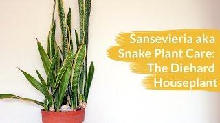 Sansevieria AKA Snake Plant Care: The Diehard Houseplant / Joy Us Garden