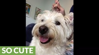 westie-is-addicted-to-head-scratching-instrument