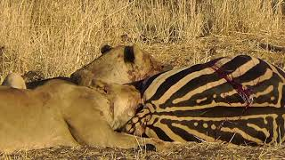 Lions eating zebra