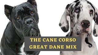 All About The Cane Corso Great Dane Mix (Italian Daniff)