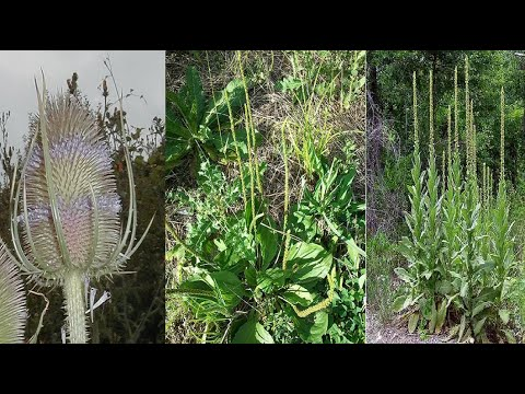 Teasel Root, Mullein, Horsetail, Plantain. Freewheeling Herbs Along the Bike Trail