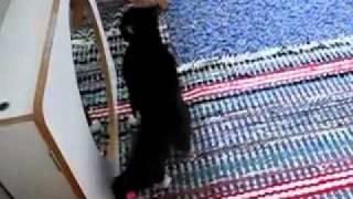 Kot walczy z lustrem   Cat fights with mirror