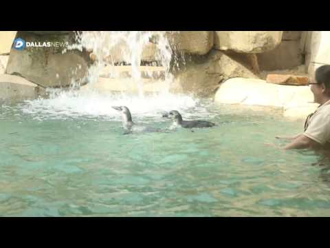Dallas Zoo's penguin chick siblings to get first swimming lesson