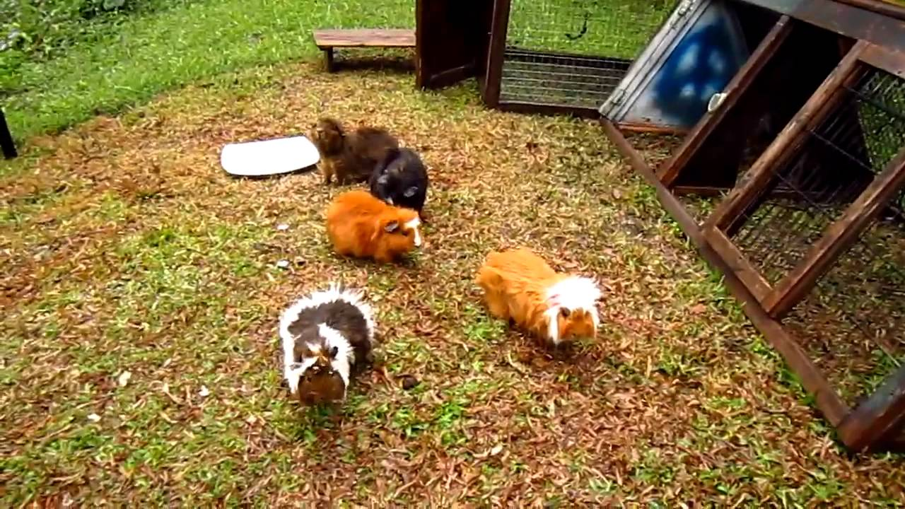 Free range guinea pigs youtube for Guinea pig pictures free