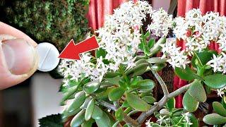 10 лет не цвело денежное и о чудо!1 Аптечная таблетка расшевелит на цветение любой домашний цветок!