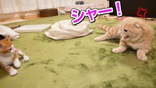 先住猫と子猫の2回目の対面は意外な結果に…