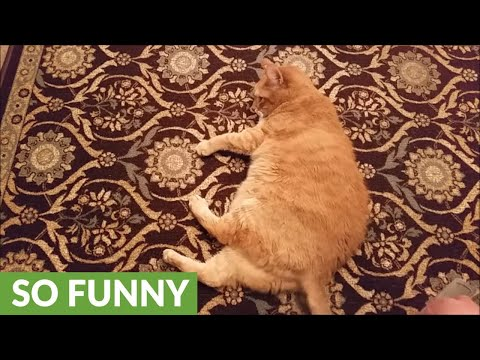 Cat rolls over on command like a dog